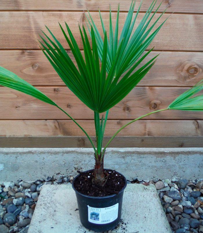 Пальма брахея - уход в домашних условиях, фото видов, размножение и пересадка