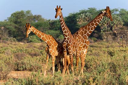 Ученые предрекли скорое вымирание жирафов