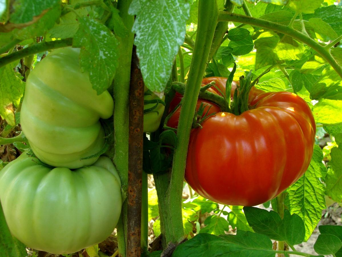 Крупные томаты на ветке