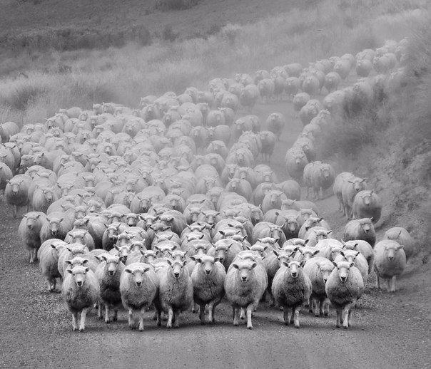 Опыты над стадом. Жестоко, но правда.