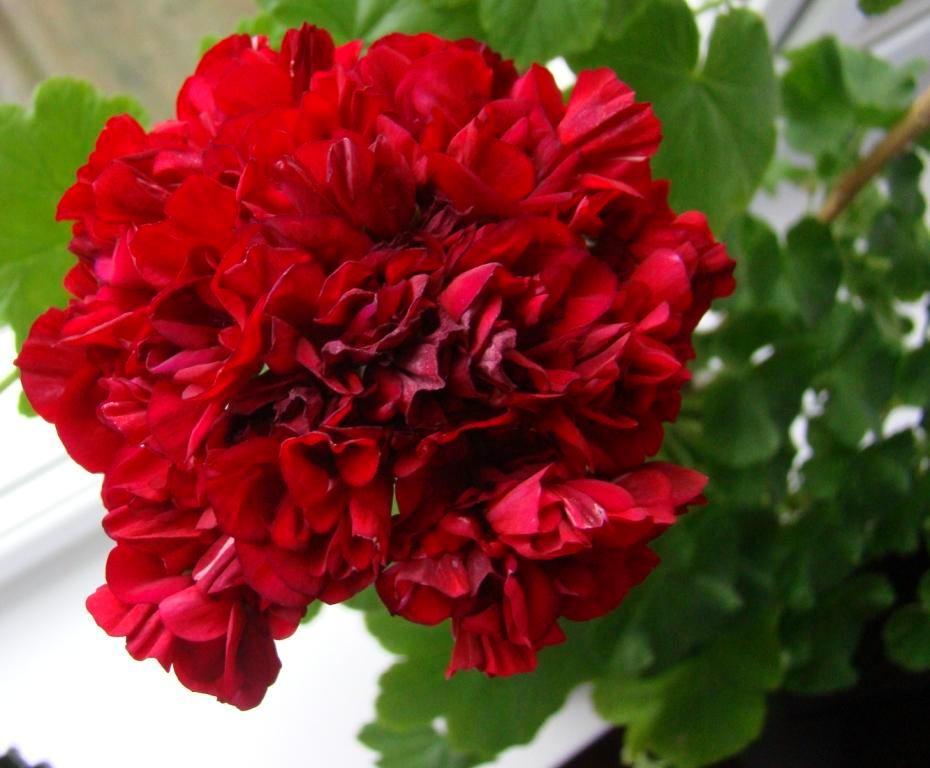 Красный цвет герани