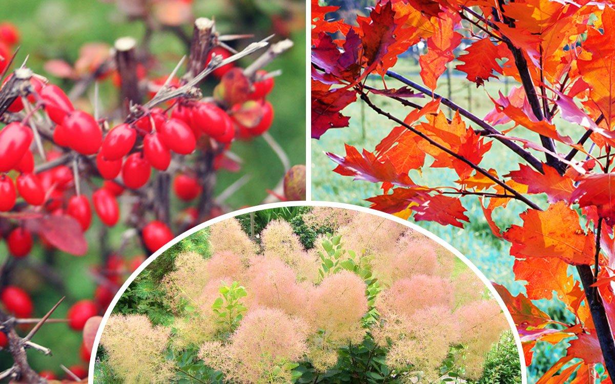 Декоративные кустарники и деревья с красной листвой