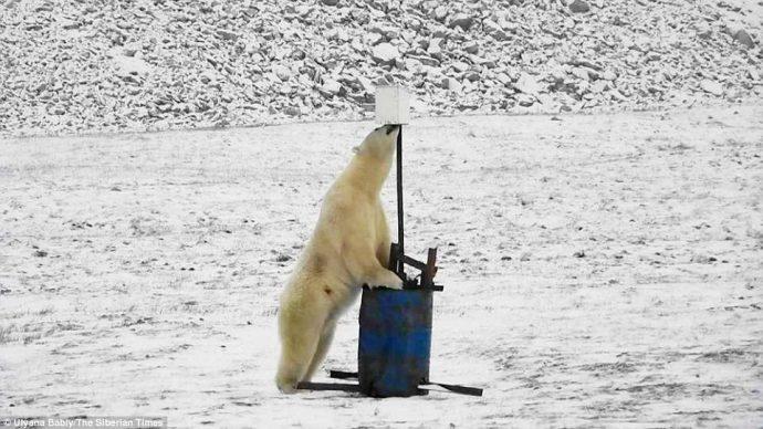 Любопытный белый медведь набрёл на монитор погоды в снегах Арктики