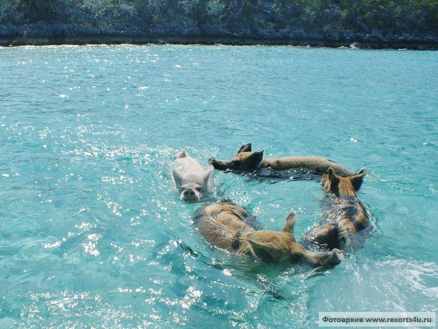 Водоплавающие свиньи на Багамах