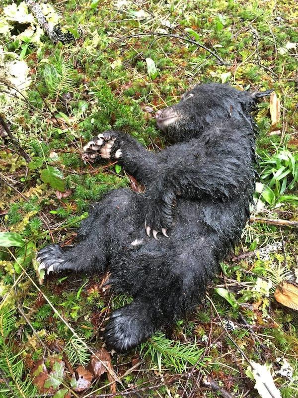 Этот парень рисковал своей жизнью и свободой, чтобы спасти умирающего медвежонка