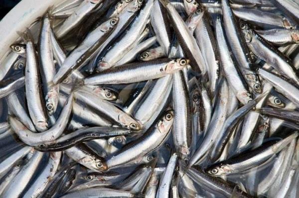 ВАбхазии вэтом году запрещен экспорт промысловой рыбы
