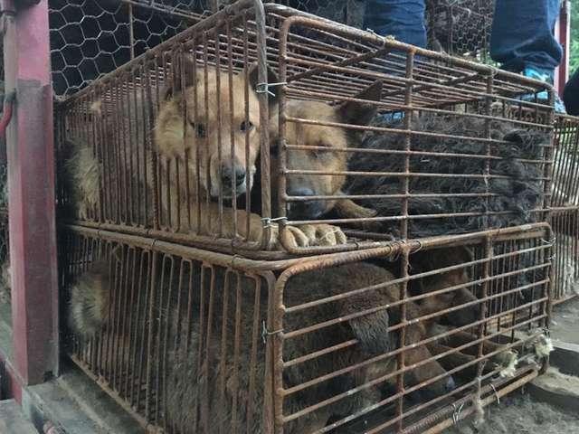 Хозяин продал преданного пса на бойню! Его везли на фестиваль собачьего мяса вместе с другими 600 собаками…