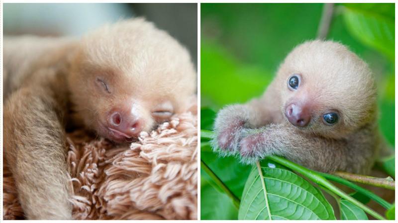 В Коста-Рике есть организация для защиты детенышей ленивцев, оставшихся без мам