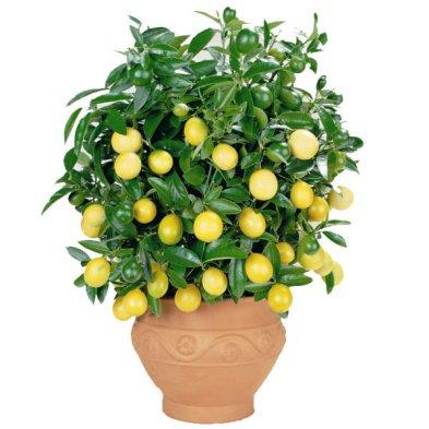 Как вырастить лимон дома 1