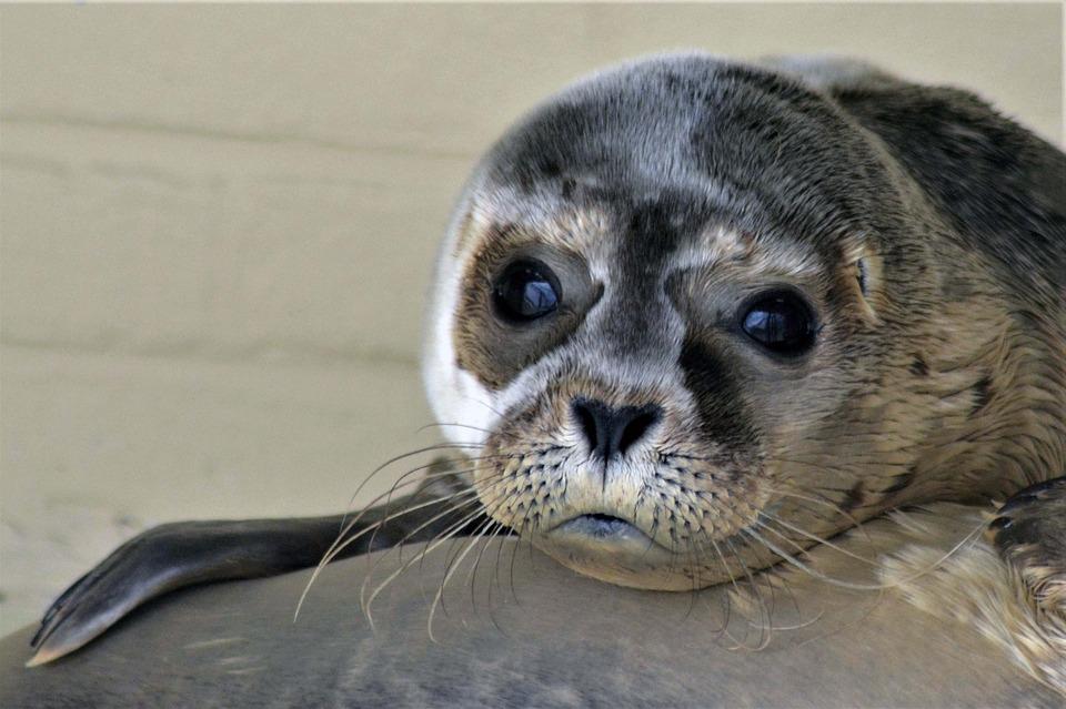 Найденная анорексичная тюлен…