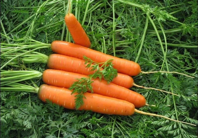 Почему на грядке выросла горькая морковь?