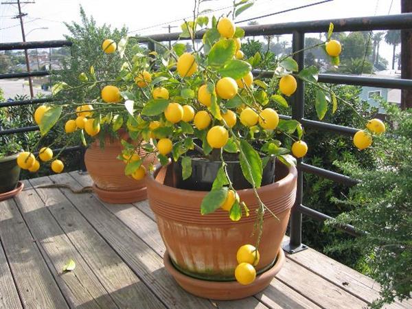 Как вырастить лимон в домашних условиях? Сайт полезных совет…