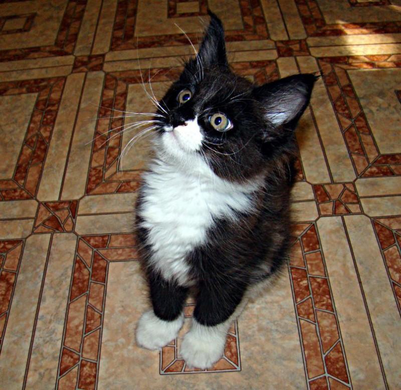 Они взяли крошечного котёнка мейн-куна и полюбуйтесь, каким он стал через год!