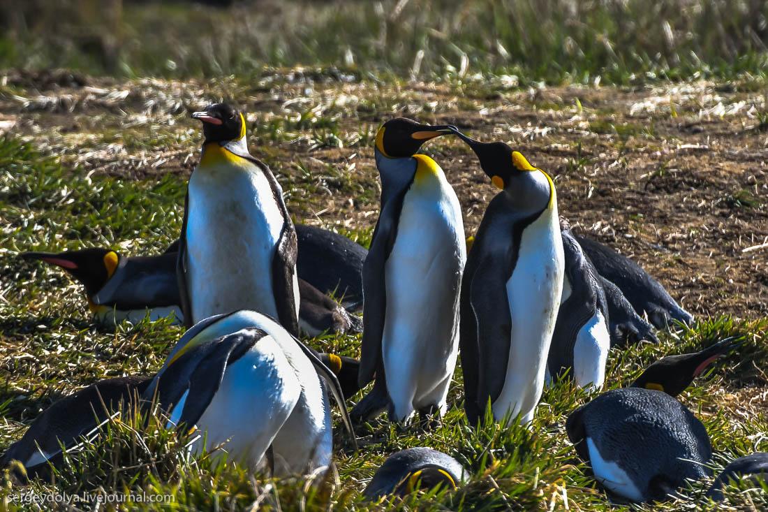 Пингвинья любовь