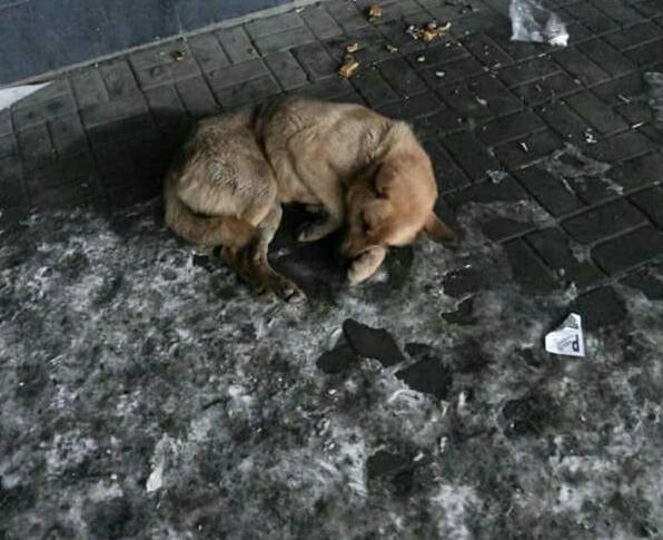 В Волгограде на улице, на льду 10 дней без еды лежит травмированная собака. Кто может помочь?
