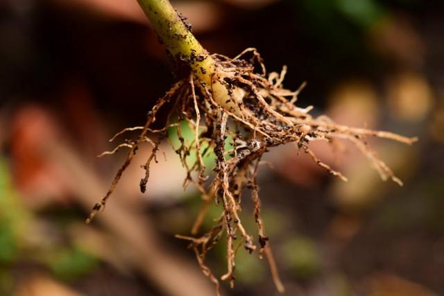 Все, что необходимо знать садоводу о стимуляторах корнеобразования растений