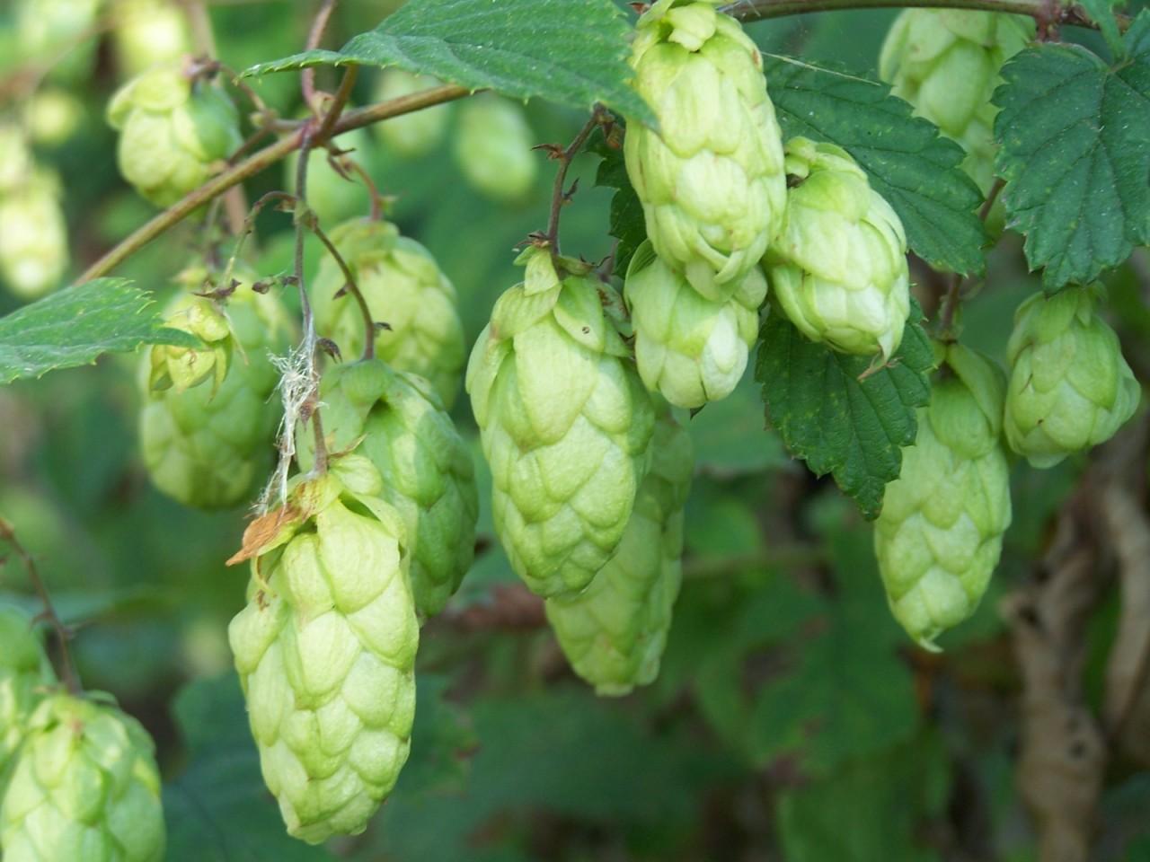 Хмель обыкновенный – лекарственное многолетнее растение