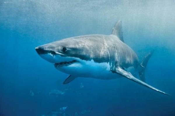 Насколько опасна белая акула?