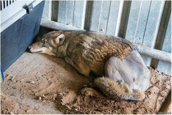 Волка Олиеля сбила машина! Врачи сделали все возможное, чтобы дать ему шанс вернуться домой…