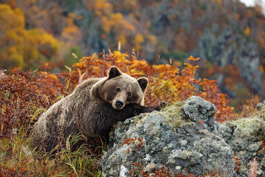Остров Саманг: где находится медвежий рай
