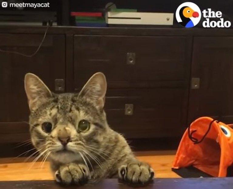 Кошка с хромосомной аномалией немного не такая