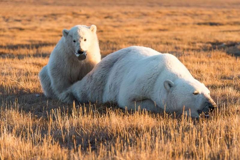 Спасение медвежонка на острове Врангеля
