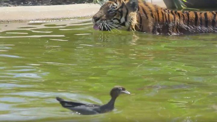 Бесстрашная утка троллит тигра, купающегося в пруду