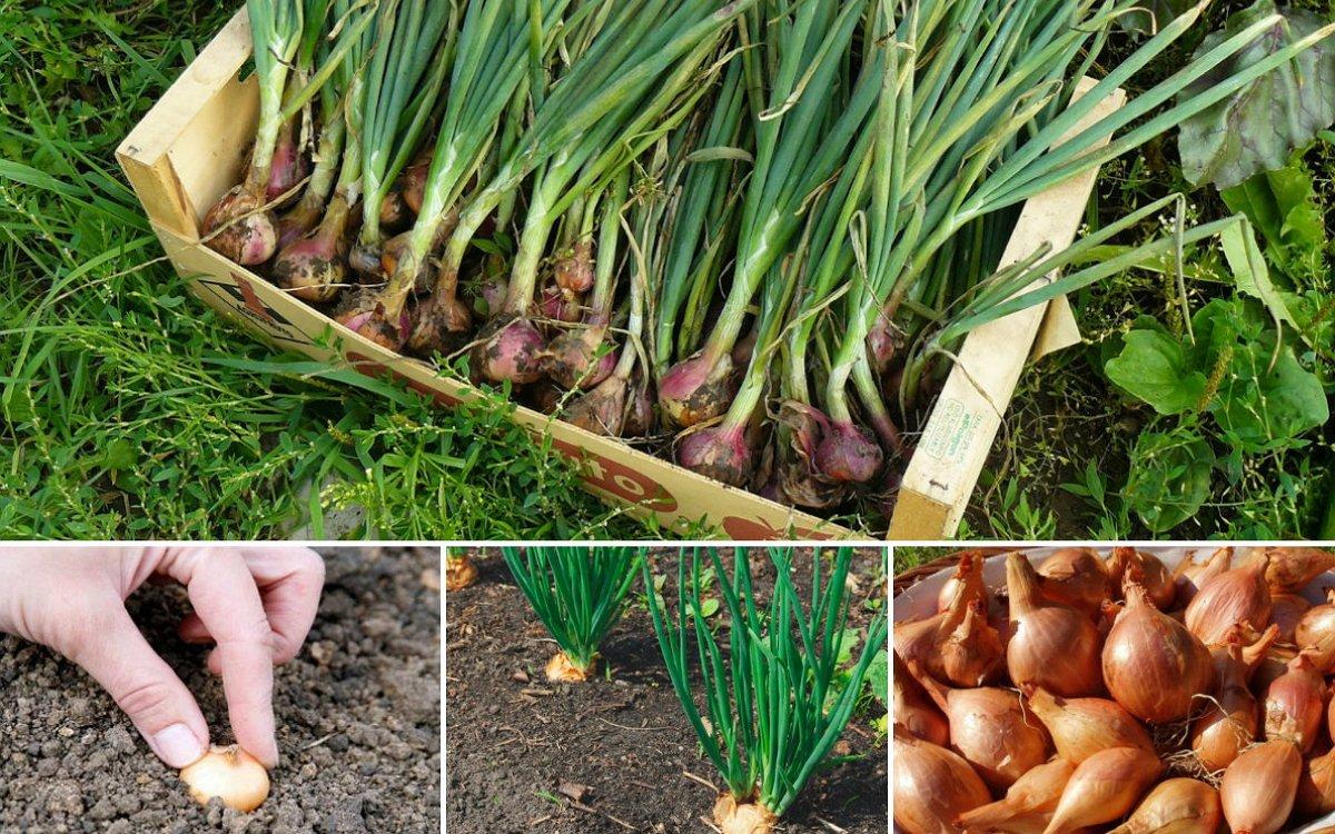 Выращивание репчатого лука 100