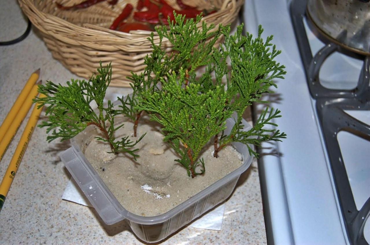 Размножение туи черенками, семенами, ветками в домашних 83