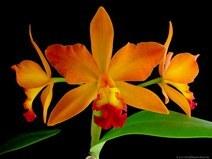 Орхидея немного истории. Часть 1
