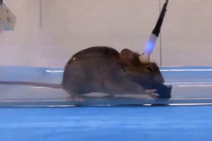 Ученые превратили мышь в безжалостного зомби-убийцу