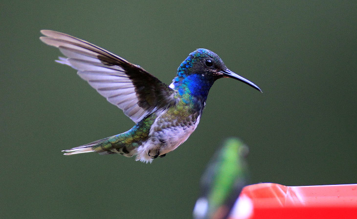 Колибри — Птица, Способная Летать Назад