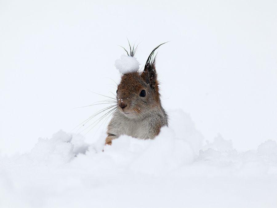 Ныряние белочки в снег стало хитом сети