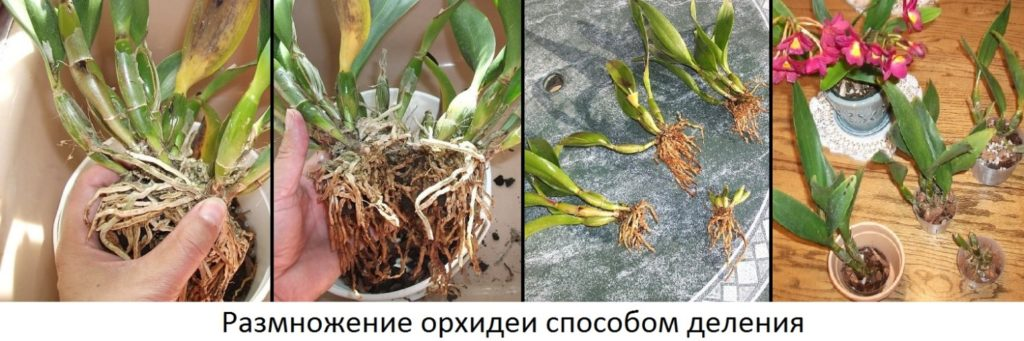 Как посадить детку орхидеи в домашних условиях - 3dfuse.ru