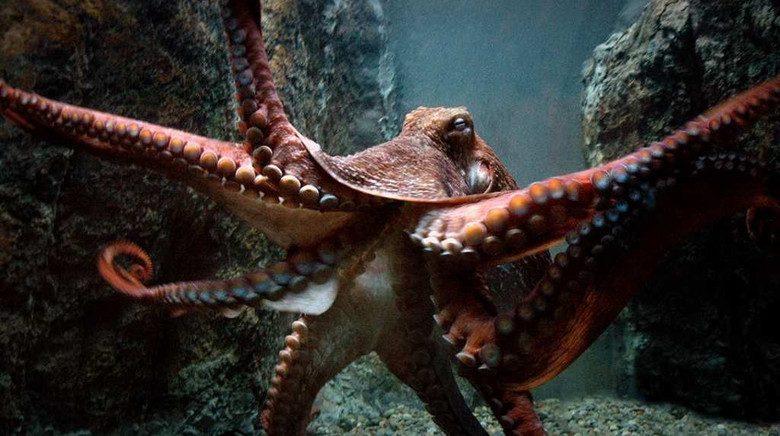 Как осьминоги нападают на людей