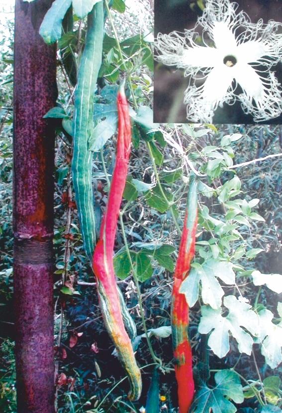 Лианы в моем саду: личный опыт