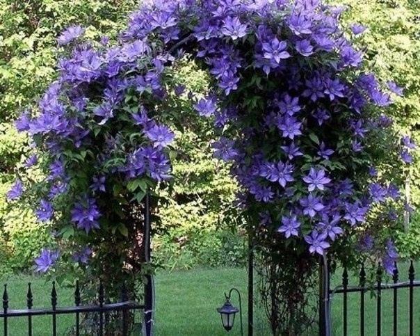 Арка из клематисов. Цветочное украшение. Идея для сада