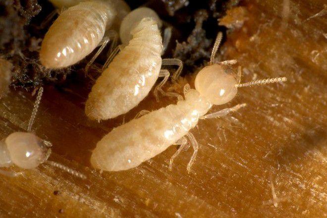 белые муравьи в квартире