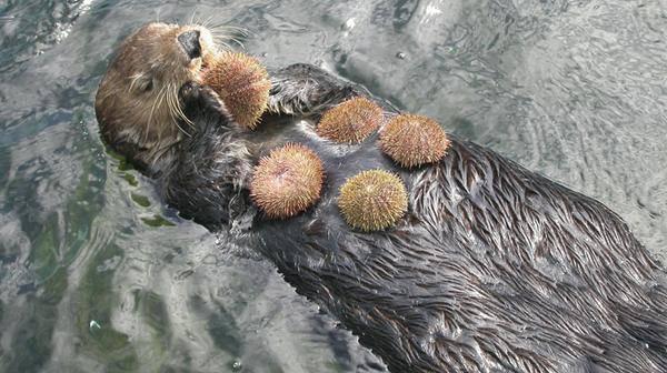 Дикая морская выдра использует камни для раскалывания мидий.