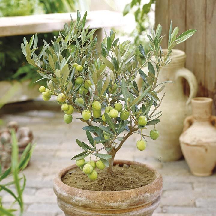 Посадите маслину в кадку