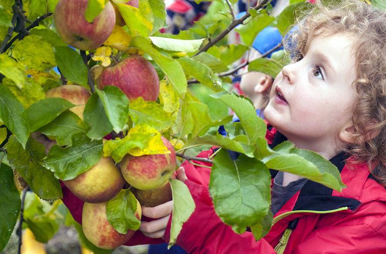 Почему сорванный неспелый фрукт дозревает? Как ускорить созревание