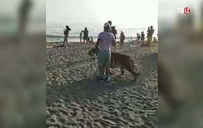 Приморец выгулял амурского тигра на поводке по пляжу. Видео
