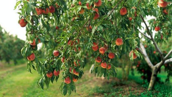 Чем подкормить персик после …