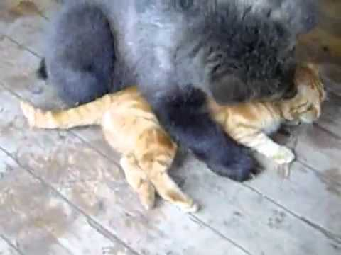 Кот против медведя(cat vs bear).flv