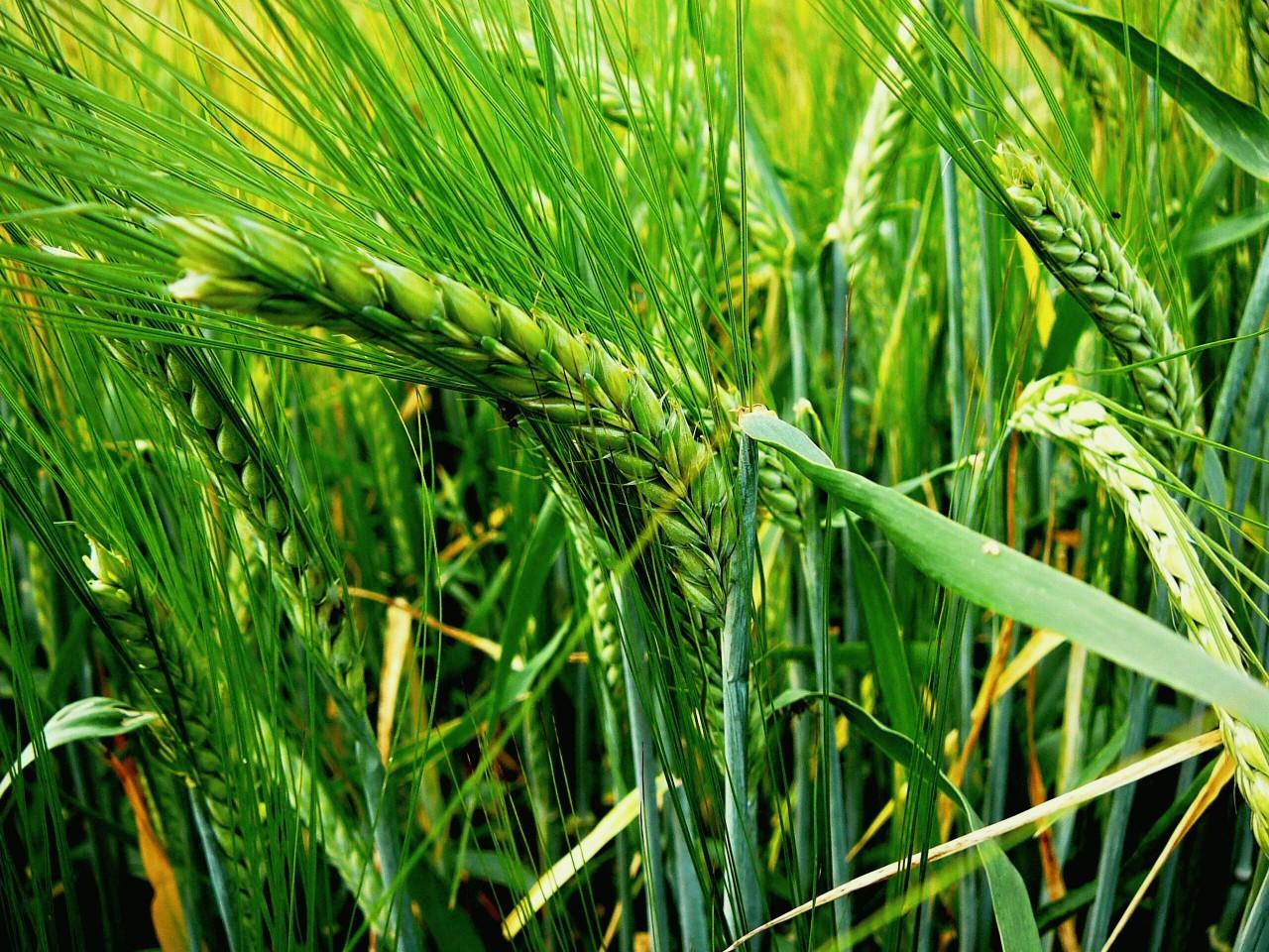Гидрометцентр обещал высокую урожайность озимых в 2017 году