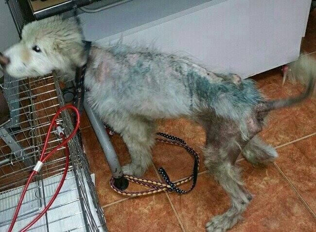 Пса без шерсти отобрали у владельца прямо на улице. Посмотрите, в какого шикарного самоеда он превратился