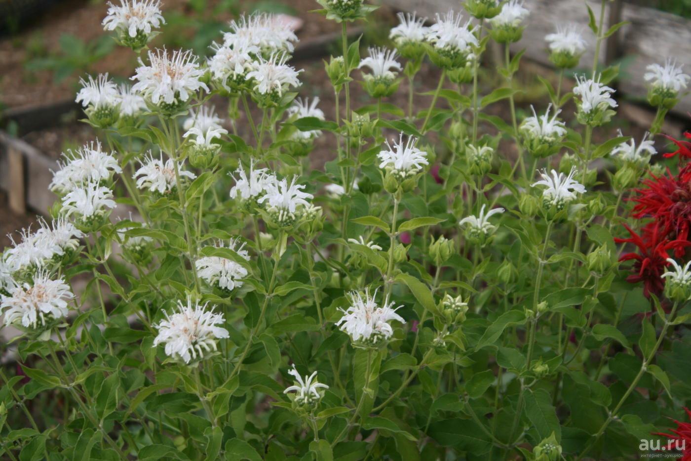 Image result for монарда в саду