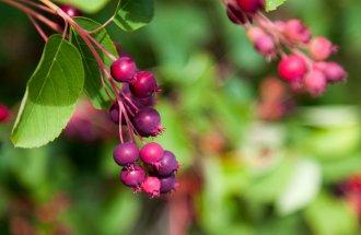 Ирга на дачном участке – красивое и полезное растние