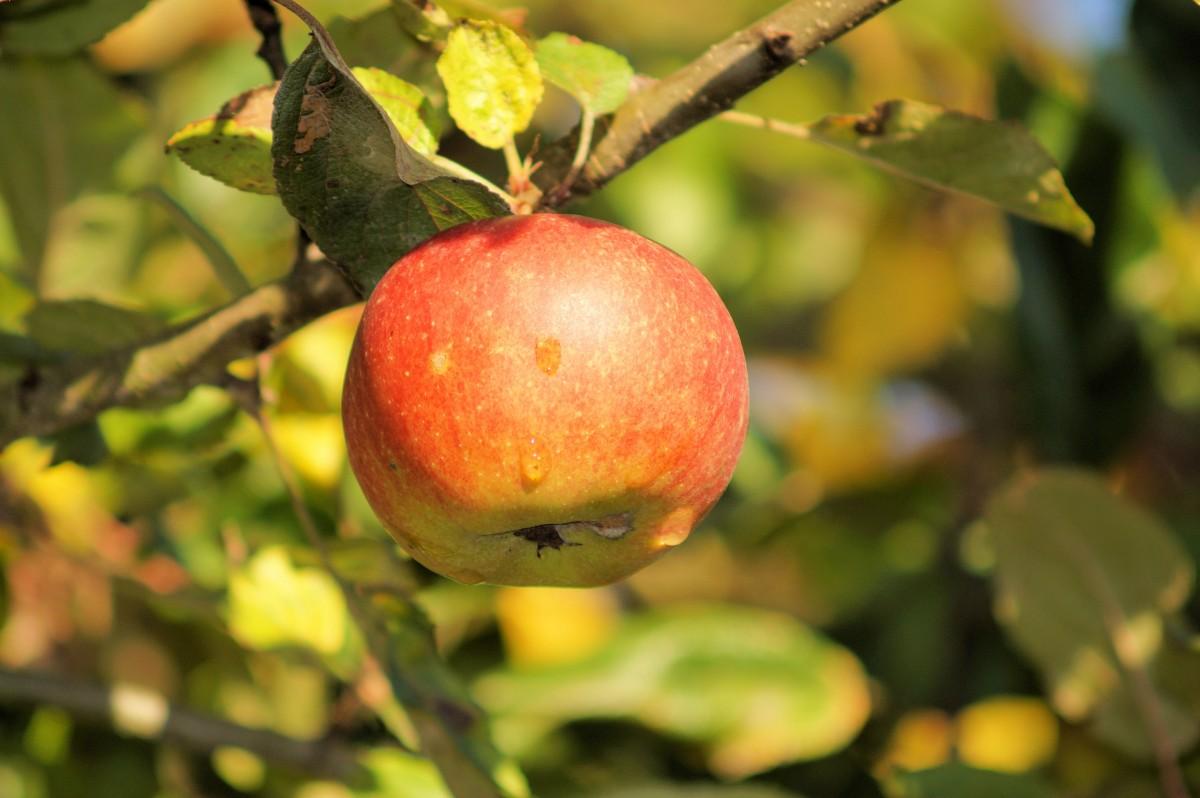 Вот почему на яблоне мало яблок