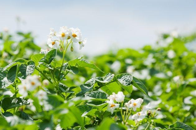 Картофель: агротехника против болезней